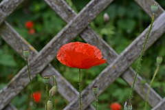 Amapola (blancaelena_muizmartinez) Tags: red flores rojo flor amapolas
