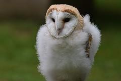 Barn Owl Fledgeling (Diko G.W.) Tags: ngc npc barnowl eastyorkshire