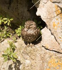 Little Owl (chitsngiggles) Tags: portlandbill owls bird animals wildlife littleowl owl