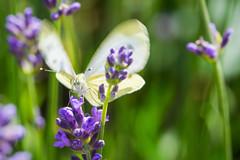 Landing Butterfly (phagileo) Tags: white macro green nature yellow photoshop butterfly insect nikon purple bokeh wildlife natur lavender sigma elements 105 makro schmetterling lavendel 105mm flattering flatter d3300
