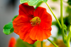 Kapuziner Kresse (Tropaeolium) - Nasturtium (ralfkai41) Tags: makro tropaeolium plant macro pflanze indancress blossom flower garten blume outdoor nasturtium blte natur kapuzinerkresse nature