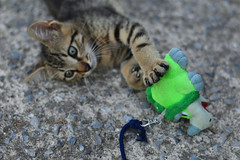 Like a Tiger (moniq84) Tags: micio gatto cat kitten kittens tigrato 2 mesi two months young gioco pupazzo corda peluche play occhi eyes look me guardami regarde moi unghie unghia gattino giocherellone simpatico sweet chat bokeh nikon 50mm zampa tigre little tiger piccola