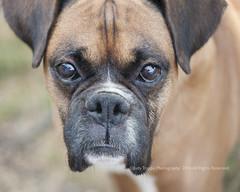 Zeke (dog ma) Tags: zeke z fawn boxer mydog petportrait nikon d700 nikkor 105mm jodytrappephotography rescuedog