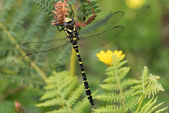 Golden-ringed Dragonfly M (drbut) Tags: nature insect outdoor wildlife rivers streams ponds riverine blackandyellow cordulegasterboltonii goldenringeddragonfly