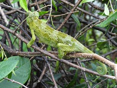 Jackson's chameleon (Trioceros jacksonii): Feral, adult female in Manoa valley (Scot Nelson) Tags: jacksons chameleon feral female triocerosjacksonii