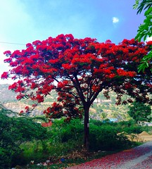 Beautiful Red Summer (prasannakrish) Tags: perspective bushes light contrast rgb blue green calm india pollution surviving sunshine unexpected flowers wallpaper sunny bright standout summer beauty tree red