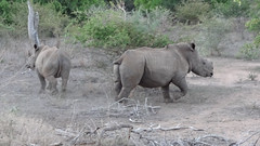 Two Endangered Black Rhinos (horn missing on animal at right), Kruger National Park, South Africa (dannymfoster) Tags: africa animal southafrica nationalpark rhino blackrhino krugernationalpark kruger