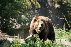 Grizzly Bear - Woodland Park Zoo (Endangered71) Tags: bear animal zoo woodlandparkzoo grizzlybear