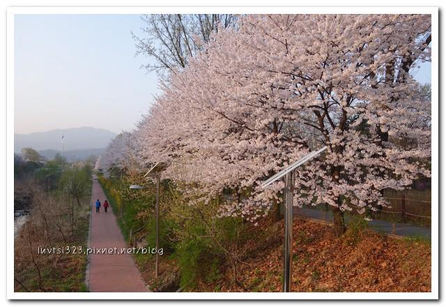 양재천벚꽃02