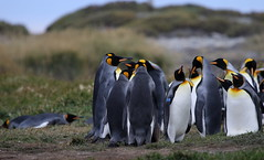 King penguins in a huddle (Paul Cottis) Tags: chile patagonia tierradelfuego penguin march 31 2015 paulcottis