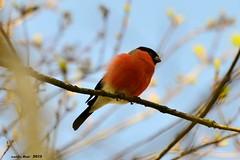 112/2015 Camachuelo (Enllasez - Enric LLaó) Tags: bird aves aus ocells pinsàborroner camachuelo