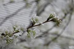 In Bloom (Read2me) Tags: she spring mfa pree cye gamewinner blossomwhite thechallengefactory flowersartinbloom
