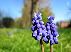 blooms-1 (gabriel_flr) Tags: flowers germany spring blossoms blumen hannover blooms hanover frhling blten fleures niedersachsen lowersaxony primavara flori gabrielflr