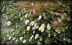 Springtime (mala singh) Tags: india mountains shimla spring wildflowers himlayas