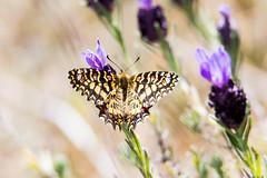 Spanish Festoon (alanrharris53) Tags: portugal butterfly spanish algarve riaformosa festoon zerynthia rumina