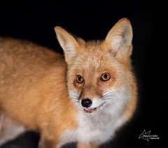Red Fox (*~ Nature's Gifts Captured  ~*) Tags: red nature closeup photoshop photography newjersey nikon wildlife headshot fox april 2015 specanimal d4s naturesgiftscaptured tamihrycak