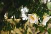 大霧中賞花 (In the snap) Tags: plants flower japan sony april 箱根 強羅 2015 a6000 強羅車站 中強羅 sel55210
