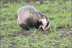 Daytime Badger (image 2 of 3) (Full Moon Images) Tags: nature animal mammal wildlife bcn reserve national badger trust daytime fen cambridgeshire woodwalton nnr greatfen greatfenproject