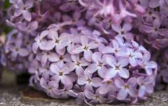 Lila (Marisol Torremocha Lpez) Tags: naturaleza flores color primavera lilas