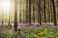 Fairy Forrest (Reografie) Tags: wild ellen belgie forrest bos zon regen paars hallerbos hyacint nibbie reografie
