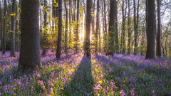 Bluebell Forest: Sunset (Vemsteroo) Tags: uk light sunset nature beautiful bluebells forest woodland landscape evening spring warm fuji dusk glorious fujifilm bluebell atmospheric warwickshire goldenhour circularpolariser springwatch beautyinnature xt1 18135mm leefilters