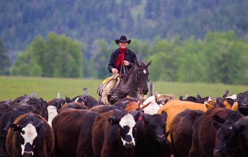 Triple Creek Ranch Cattle Drive