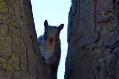 Peeping (emmajanerigby) Tags: nature animals photography nikon squirrel wildlife birkenhead wirral d3300
