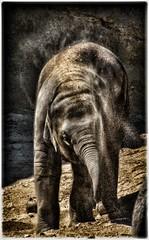 Sanddusche muss sein (rollirob) Tags: zoo sand nikon afrika elefant steppe jungtier zookln sanddusche