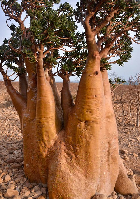 Desert Rose, Socotra Is