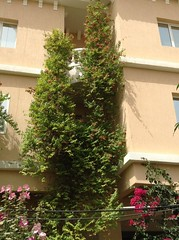 My garden: RANGOON CREEPER (Mink) Tags: house home garden jasmine indian kuwait climber creeper mygarden rangoon scented