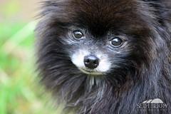 Black Pomeranian (Seth Berry Photography) Tags: bear dog black cute face puppy cub small adorable pomeranian