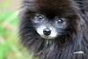 Black Pomeranian (Seth Berry Photography) Tags: bear dog black cute face puppy cub small adorable pomeranian