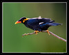 The Andamanese Common Hill Myna (AntoGros) Tags: camera india bird nature beautiful beauty birds port lens indian sony hill birding dslr common sal sonycamera andaman religiosa myna andamans beautifulbird indianbirds portblair andamanese gracula a99 sonydslr sonylens sal70400g 70400g andamanensis sonysal70400g sonya99 graculareligiosaandamanensis andamanesecommonhillmyna andamanscommonhillmyna