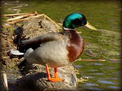 Happy Duck (hawkmiester55) Tags: nature animal landscape duck nikon nebraska l mallard heronhaven l330