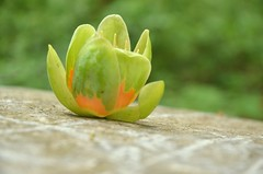 Tulip Poplar Blossom.
