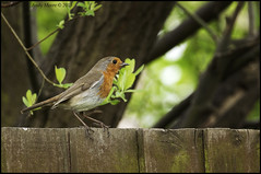 DSC_9232 (andymoore732) Tags: robin birds gardenbirds commonbirds ukgardenbirds