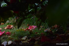 Under a camellia (athinaengland) Tags: rhododendron underneath hiddenworld