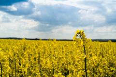 champ (xavier.fray) Tags: nature ciel paysage couleur flou champ colza