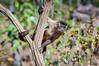 "Bearded Capuchin <a style=""margin-left:10px; font-size:0.8em;"" href=""http://www.flickr.com/photos/41134504@N00/17348750111/"" target=""_blank"">@flickr</a>"