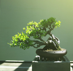 shadow (cubeghost) Tags: light green dc arboretum bonsai