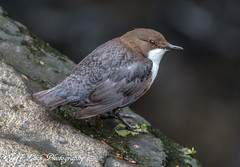 0BB_1982 Dipper (jefflack Wildlife&Nature) Tags: nature birds wildlife avian waterbirds dipper wildbirds dippers