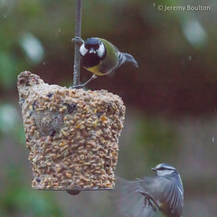 Tits (JKmedia) Tags: two nature birds garden inflight spring tits wildlife feathers feeder perch perched nut avian smallbirds 2015 paridae canoneos7d titsparidae boultonphotography