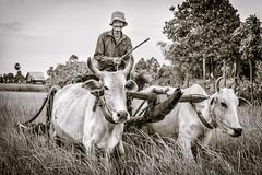 The Jolly Rancher (Trent's Pics) Tags: man cambodia ox fields farmer jolly rancher ricefields fieldworker kampongchhnang