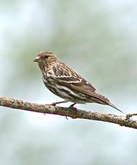 In Transit (Slow Turning) Tags: bird branch perch migratory southernontario carduelispinus