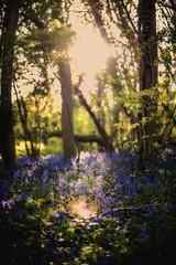 Bluebells during sunset (mystero233) Tags: wood blue light sunset sun flower tree green nature bluebells forest 50mm nikon ray outdoor foliage d750 serene bluebell