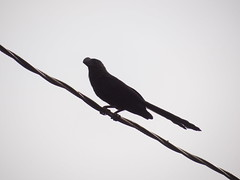 DSC04095 Anu-Preto (familiapratta) Tags: bird nature birds brasil iso100 sony natureza pssaro aves americana pssaros americanasp hx100v dschx100v