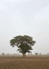 Big tree in a field, Kembata, Alaba kuito, Ethiopia (Eric Lafforgue) Tags: africa trees plant color tree nature beautiful field vertical landscape mammal outdoors countryside cow scenery quiet natural outdoor scenic environmental peaceful dry tribal calm land environment daytime copyspace agriculture ethiopia desolate tranquil cultivation settlement hornofafrica eastafrica thiopien etiopia abyssinia ethiopie etiopa ruralscene fulllenght  etiopija ethiopi alaba  etiopien etipia  etiyopya     fertileland kembata      ethio162704 alabakuito