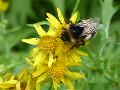 Macro (Magryciak) Tags: newzealand orange plant flower colour macro nature yellow insect outdoors lumix fly panasonic bumblebee 2016 waikaremoana