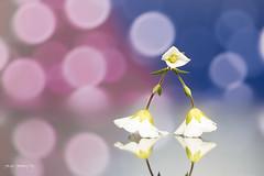 Manfrotto Tripod (Diego Pianarosa (aka Pinku)) Tags: pink blue flower macro reflection canon flow bokeh tamron 90mm fiore colori manfrotto riflesso pinku 70d diegopianarosa