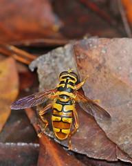 Yellowjacket Hover Fly (Milesia virginiensis) (Mary Keim) Tags: centralflorida marykeim taxonomy:binomial=milesiavirginiensis charleshbronsonstateforest